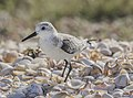Calidris alba on Margarita island 2.jpg