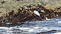 California-06429 - Seals (21718935762).jpg