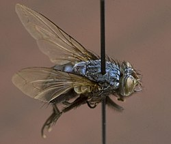 meaning of calliphoridae