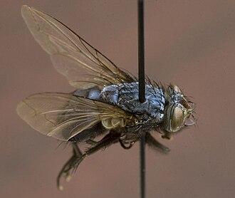 Calliphoridae - A Calliphora livida fly specimen