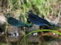 Calopteryx splendens und Calopteryx virgo 3783.JPG