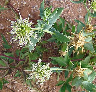 Calyceraceae Family of flowering plants