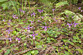 Calypso bulbosa - Flickr 004.jpg