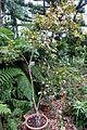 Camellia sasanqua 'Venus' - Flora park - Cologne, Germany - DSC00481.jpg