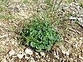 Campanula rotundifolia sl11.jpg