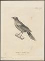 Campephaga phoenicea - 1700-1880 - Print - Iconographia Zoologica - Special Collections University of Amsterdam - UBA01 IZ16500383.tif