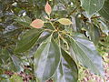 Camphor Laurel leaf (5057099352).jpg