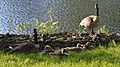 Canada Geese (Branta canadensis) - Guelph, Ontario 2019-06-08 (02).jpg