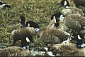 Canada geese with neck bands - DPLA - b21d1795f335c72045d07647030cecd1.jpg