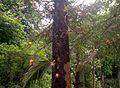Cannon-ball tree...നാഗലിംഗ മരം1.jpg