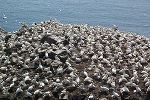 Cape St. Mary's Ecological Reserve - Northern gannets nesting on Bird Rock