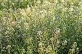 Capsella bursa-pastoris 02.jpg