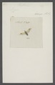 Capsus - Print - Iconographia Zoologica - Special Collections University of Amsterdam - UBAINV0274 041 01 0009.tif