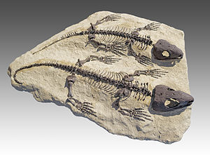 Reptile - The first reptiles had an anapsid type of skull roof, as seen in the Permian genus Captorhinus