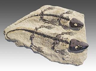 <i>Captorhinus</i> genus of reptiles (fossil)