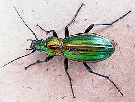 Carabus lineatus up.jpg
