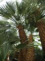 Caranday Palm Singapore.jpg