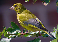 Carduelis chloris -Fedderwardersiel, Lower Saxony, Germany -male-8.jpg