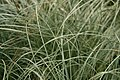 Carex comans Frosted Curls 2zz.jpg