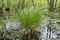 Carex paniculata kz09.jpg