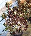 Carolina rhododendron (4411838168).jpg