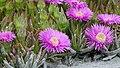 Carpobrotus flowers blossom in the Absheron National Park -Blumen am Verwaltungshaus.jpg