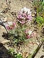 Castilleja densiflora.jpg
