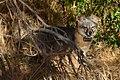 Catalina Island Fox (Urocyon littoralis catalinae) sleepy.jpg