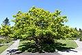 Catalpa bignonioides 'Aurea' - VanDusen Botanical Garden.jpg