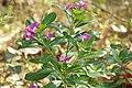 Catharanthus roseus 02843.jpg