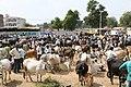 Cattle Bazar Vidisha.jpg