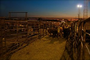 Comanche, Oklahoma - Cattle auction in Comanche