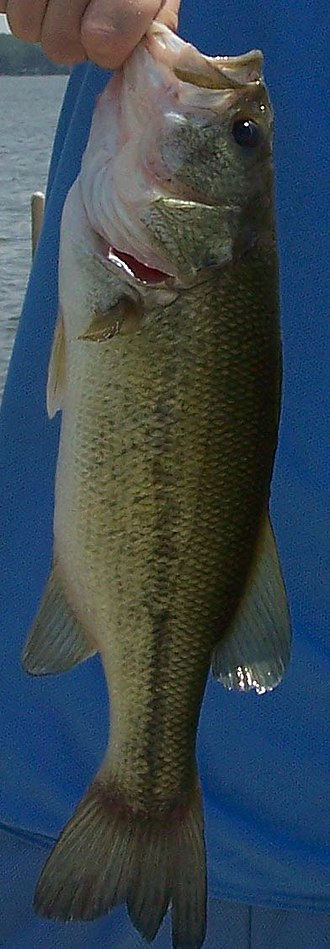 Largemouth bass - A Largemouth bass caught by an angler.