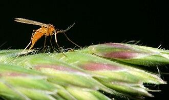 Cecidomyiidae - A cecidomyiid laying eggs on grass