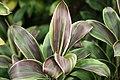 Cecropia obtusifolia 33zz.jpg