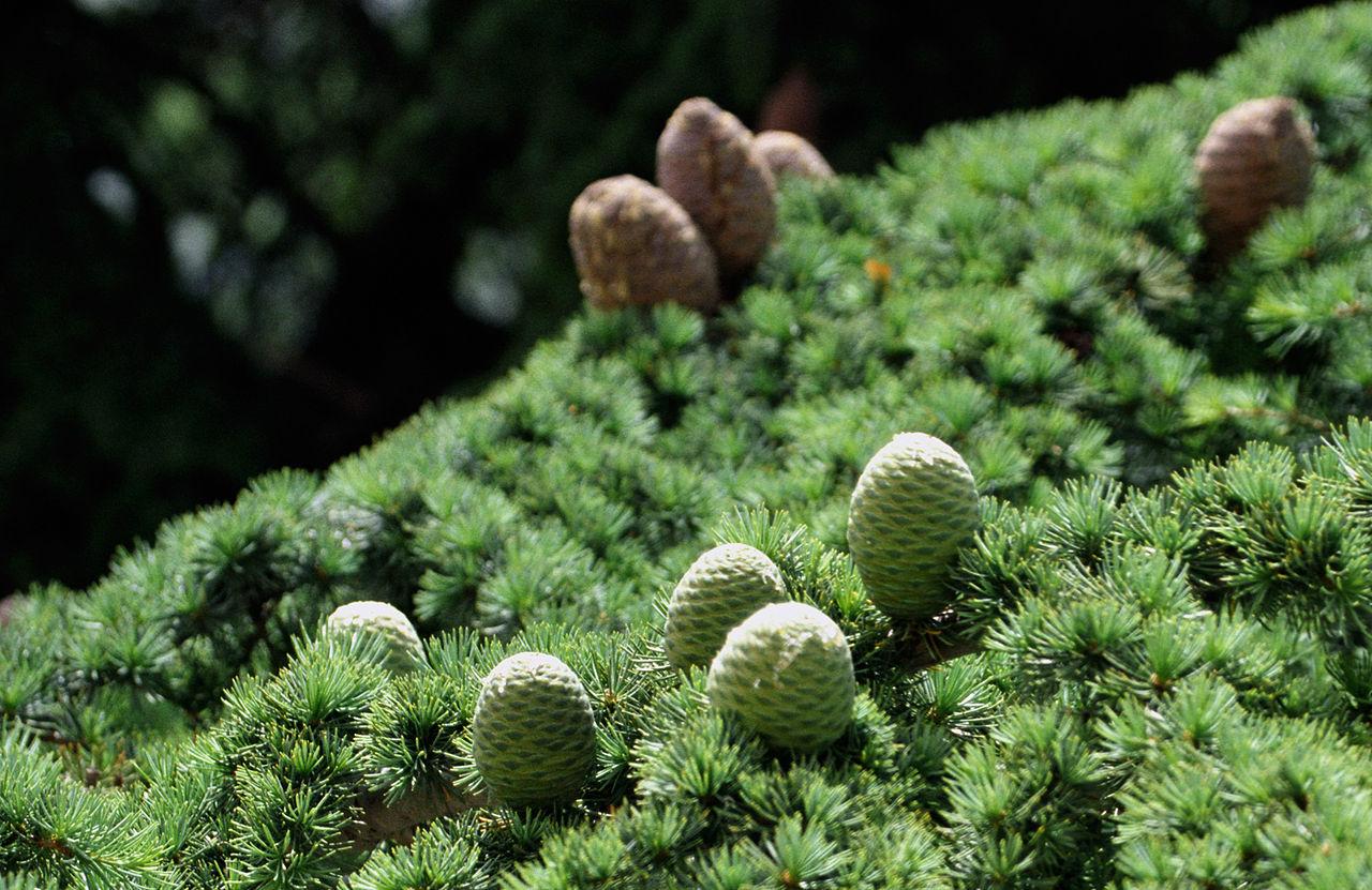 Bosque de los Cedros de Dios (Líbano).