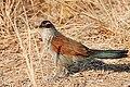 Centropus superciliosus loandae South Luangwa.jpg