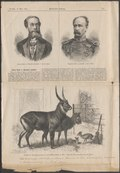 Cephalophus maxwelli - 1888 - Print - Iconographia Zoologica - Special Collections University of Amsterdam - UBA01 IZ21400035.tif