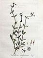 Cerastium vulgatum — Flora Batava — Volume v4.jpg