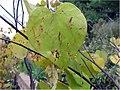 Cercis canadensis 14zz.jpg