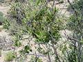 Cercocarpusmontanus.jpg