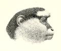 Cercopithecus campbelli.png