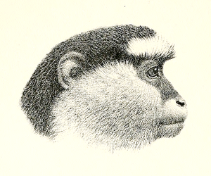 Cercopithecus campbelli.png