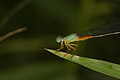 Ceriagrion cerinorubellum male of Kadavoor.jpg
