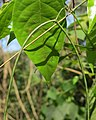 Ceropegia elegans fruits at Peravoor (9).jpg