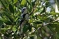 Cerulean Warbler (male) Anahuac NWR-Jackson Prairie Woodlot TX 2018-04-24 14-43-20-2 (42057528671).jpg