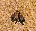 Ceylon Darlet (Oriens goloides) I IMG 9497.jpg