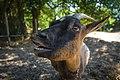Chèvre recueillie par le Refuge GroinGroin - Photo de Amélie Buellet.jpg