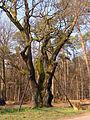 Chêne des sorcières de la forêt de Zang.jpg