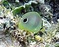 Chaetodon capistratus (foureye butterflyfish) (San Salvador Island, Bahamas) 1 (15986055147).jpg